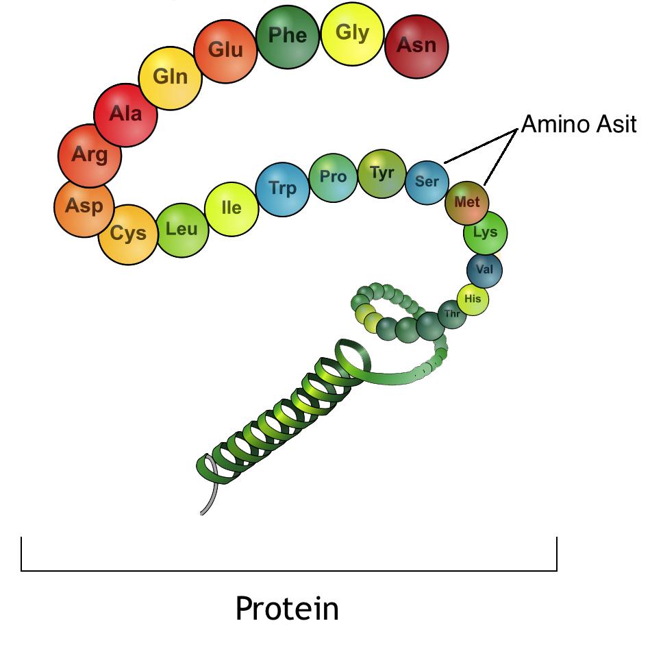 protein son2